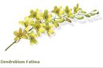 กล้วยไม้ Dendrobium