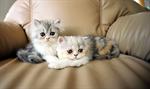 แมวเปอร์เซีย (Persian) (ทดสอบ)