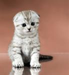 แมวสก็อตติช โฟลด์ (Scottish Fold) (ทดสอบ)