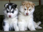 หมาแฝด()
