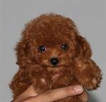 สุนัขพุดเดิ้ล ทอยด์ (ทดสอบ)