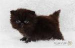 persian cat (ทดสอบ)