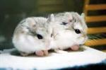 Winter White hamster (ทดสอบ)