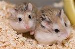 Campbells hamster (ทดสอบ)
