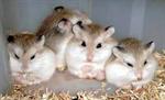 Roborovski hamste (ทดสอบ)