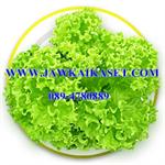 ผักสลัดกรีนคอรัล Green Coral