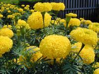 เมล็ดพันธุ์ดาวเรืองลูกผสม วีนัสสีเหลือง