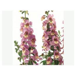 ดอกแองเจโลเนียซีรีน่าลาเวนเดอร์