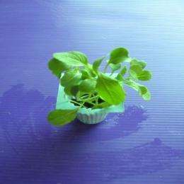 ต้นกล้าผักกวางตุ้ง อายุ 1 สัปดาห์ 1 ต้น