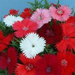 ดอกผีเสื้อ DIA-101