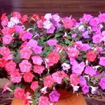 ดอกพิทูเนีย PET-301