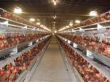 กรงตับไก่ไข่