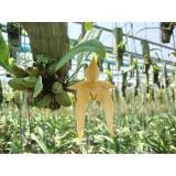 สิงโตลูกผสม Bulbophyllum Hybrids