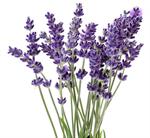 ชาดอกลาเวนเดอร์ (Lavender FlowerTea)