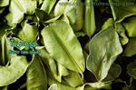 ใบมะกรูด (Kaffir lime leaves) 1Kg.