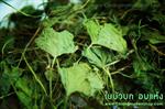 ใบบัวบกอบแห้ง (Gotu kola Leaf) 1 Kg.
