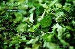 ใบมะรุมอบแห้ง (Dried Moringa Leaves) 1 Kg.