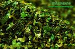 ชาใบมะละกอ อบแห้ง (Papaya leave tea) 1Kg.