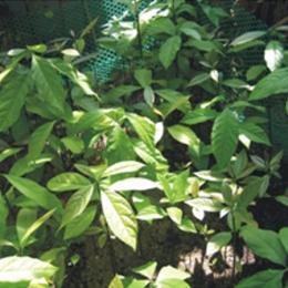 ขายต้นอะโวคาโด