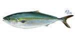 ปลาฮามาจิสด