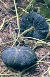 เมล็ดพันธุ์ฟักทองลูกผสม อัสนี