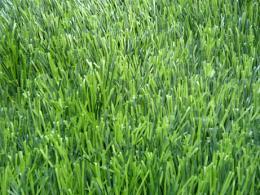 หญ้าเทียม - GSF C550