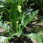 พืชเขตร้อน หน้าวัว 004