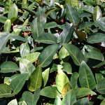 พืชเขตร้อน Philo 004