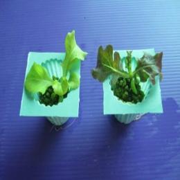 ต้นกล้าผักสลัด อายุ 2 สัปดาห์ 1 ต้น