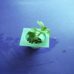 ต้นกล้าผักคะน้า อายุ 1 สัปดาห์ 1 ต้น