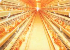กรงไก่ไข่อัตโนมัติแบบ A Frame